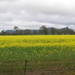 Canola Field with the Grampians in the Background